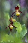 Frauenschuhe (Cypripedium calceolus)