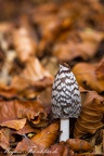 Specht-Tintling (Coprinopsis picacea)